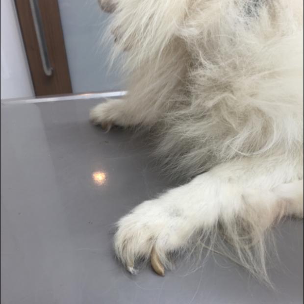 犬の爪切りのやり方【安全に犬の爪を切る方法や切り方のコツも紹介!嫌がる犬や暴れる犬でも大丈夫。】   愛犬家が集まる ...